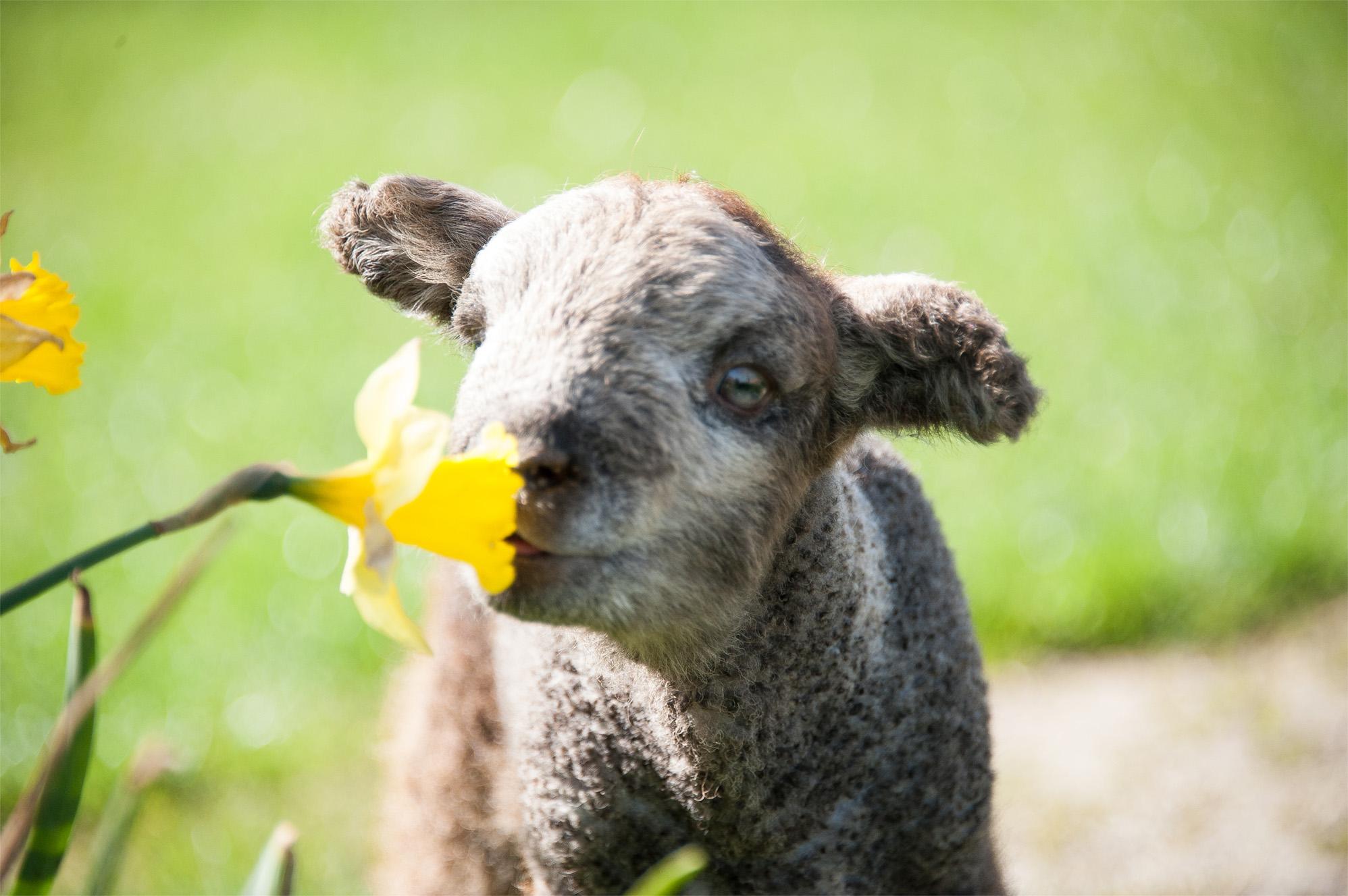 Fishers Farm Easter Lamb