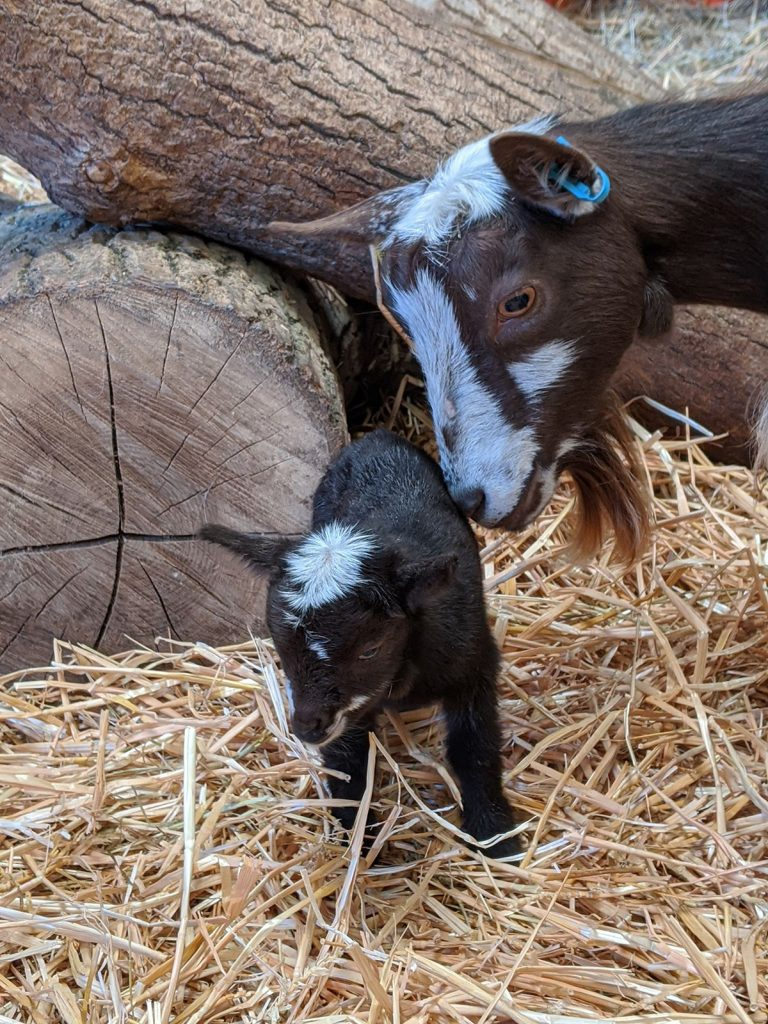 Fishers Farm Park Pygmy Goat Kid and mum