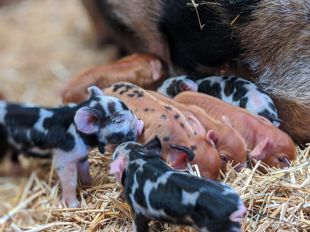 Fishers Farm Park Kunekune piglets