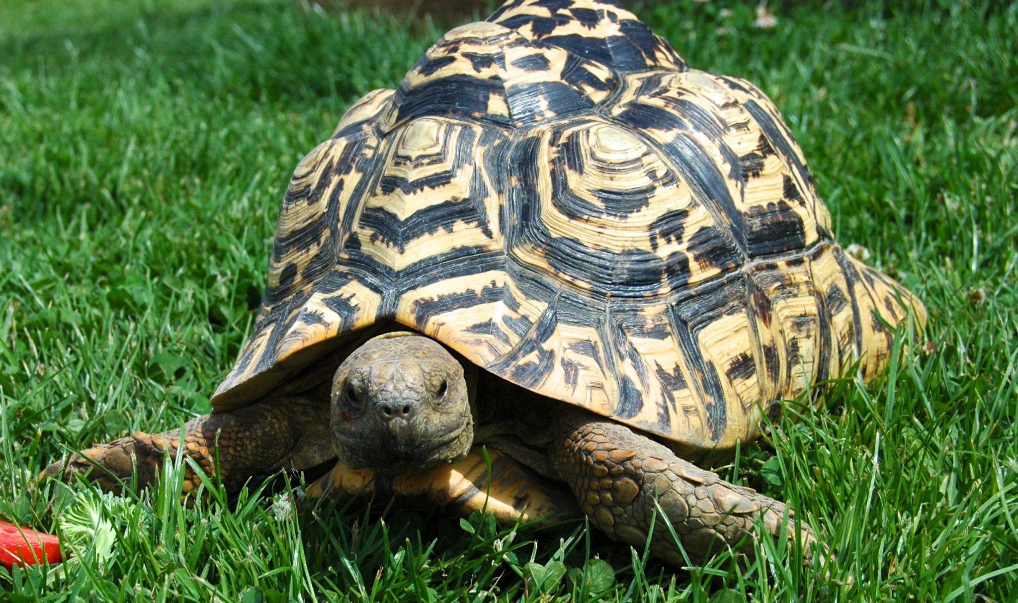 Fishers-Farm-Tortoise-Sybil